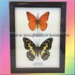 Панно из двух тропических бабочек